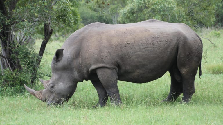 On the black market in Asia, the rhino horn would be worth at least $650,000 - more valuable, gram for gram, than gold, platinum or cocaine.