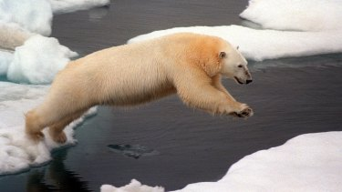 Polar bears in white fur coats insist they need floating ice to survive.