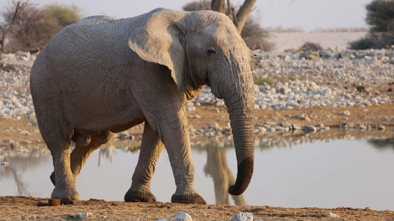 The US Fish and Wildlife Service announced on its website that it would begin issuing permits to allow the import of elephant trophies.