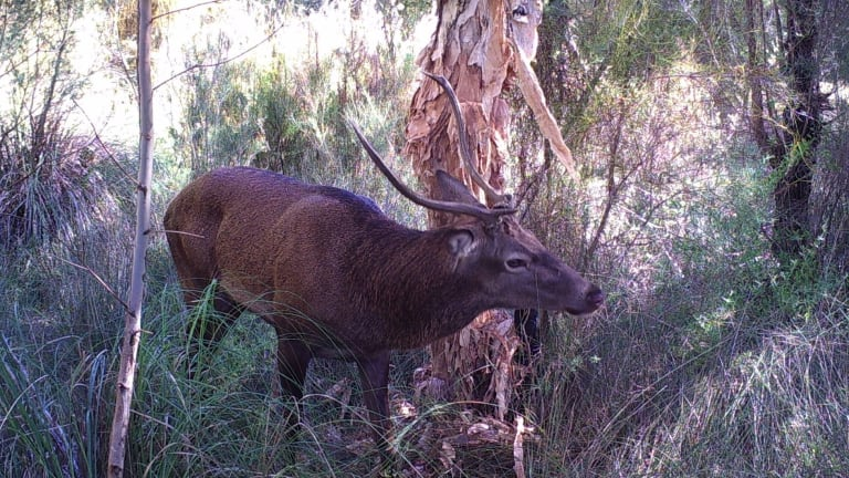 A red deer destroying a paperbark tree with its antlers in Western Australia.