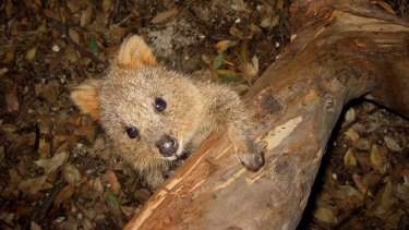Quokka from the Arcadia area of Wellington Forest in WA's South West.