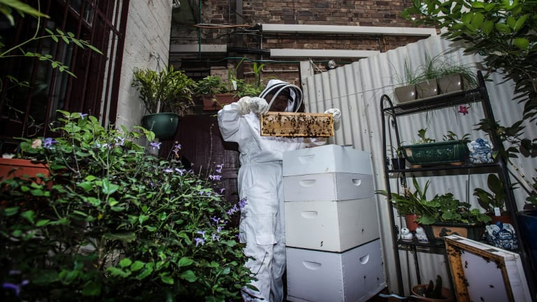 Sydney has seen a surge in urban beekeeping.