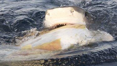 Tiger shark feeding on green turtle carcass off Raine Island.