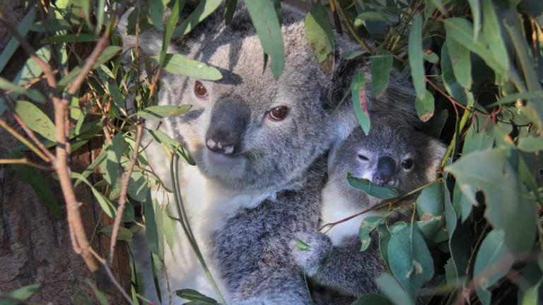 Koalas in south-east Queensland are suffering because of urban development.