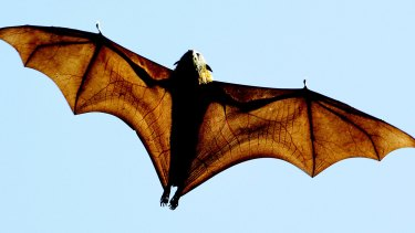 The grey-headed flying fox, a native Australian bat, has become an election issue.