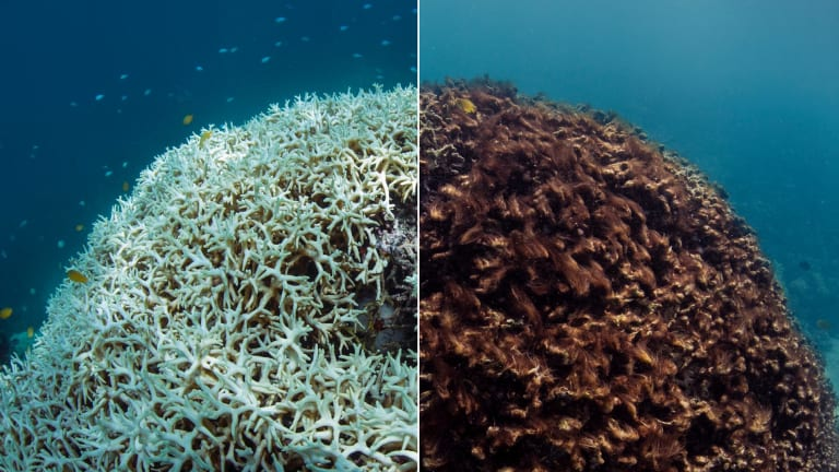 Image of coral taken in  March 2016, left,  at Lizard Island, how it was transformed after death, two months later.