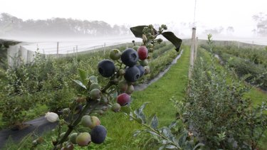 Workers recruited from Vanuatu were over-worked and underpaid on a NSW blueberry farm.