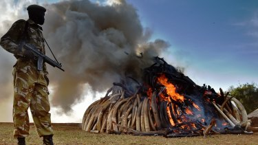 A Kenya Wildlife Services officer stands near a burning pile of 15 tonnes of elephant ivory seized in Kenya.