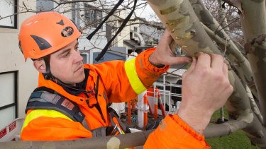 Arborist James Roberts attaches native mistletoe seeds to trees in West Melbourne.