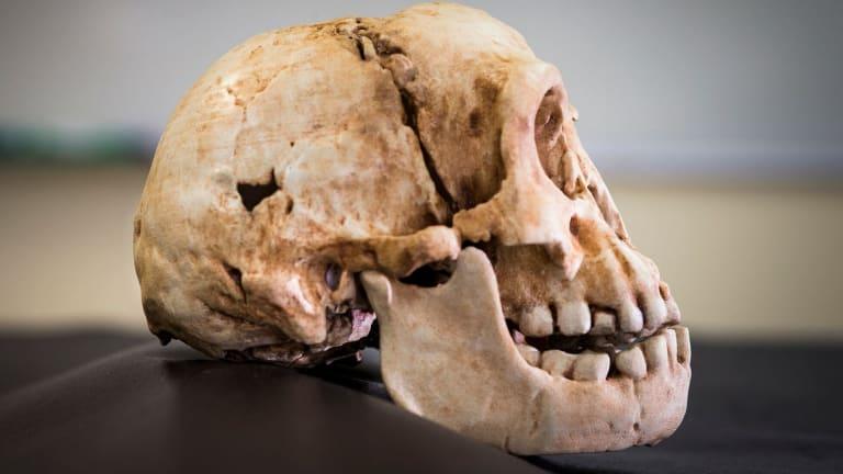 A Homo floresiensis skull.