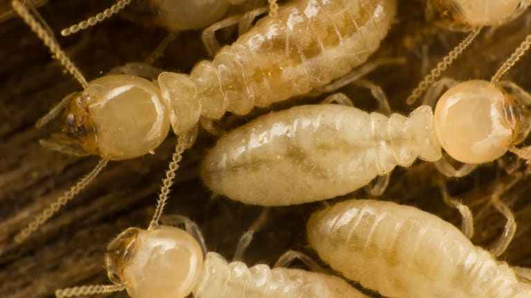 The wet spring has created ideal conditions for termites to spread.