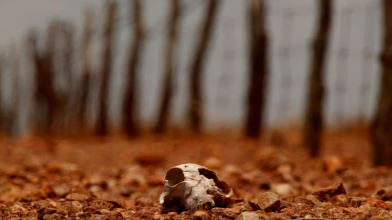 A sheep that has perished in a drought.