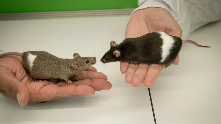 The drug seems to work in mice. Humans will have to wait and see.