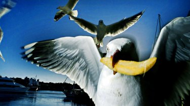The big question - did chip-hungry seagulls really invade a Frankston Line train.