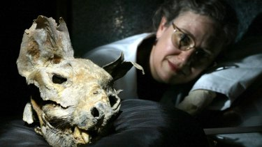 Last of its kind: A mummified thylacine head found in a limestone cave on the Nullarbor, thought to be about 3000 years old. Pictured in 2004 at the national museum Australia in Canberra, with conservator Patrya Kay.