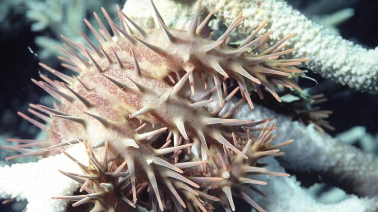 Crown of thorns starfish eat their way across the Great Barrier Reef.