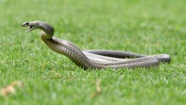 An angry brown snake: hibernation is over.