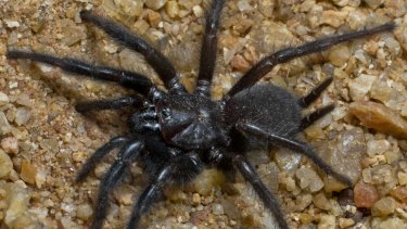 A curtain web spider, one of 18 new species of spider discovered at Fish River Station in the NT.