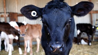 The high beef prices are giving dairy farmers an added incentive to cull cows.