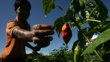 "A farmer plucks ""Bhut jolokia,"" or ""ghost chili"" peppers from a field at Changpool in the northeastern Indian state of Assam."