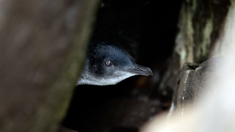 Volunteers say penguins have been attacked in two separate incidents in recent weeks.