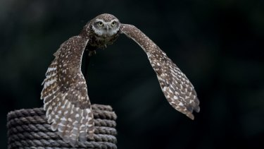 An owl named Distinto flies to her trainer as part of the bird's daily exercise routine at the former Buenos Aires Zoo.