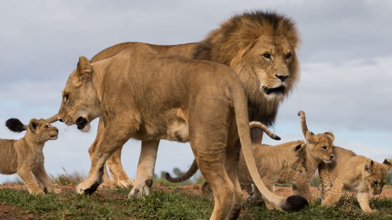 The lion cubs were born after a reversed vasectomy of their father.