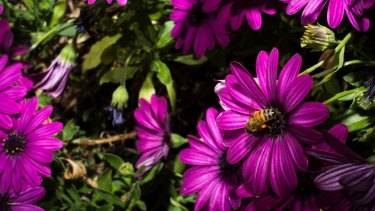 The welcome sight of a Sydney bee.