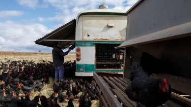 Mark Killen checks one of his buses for eggs, with about 2500 laid at the farm every day.