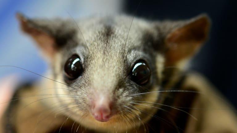 The Leadbeater's possum, one of Australia's threatened small species.
