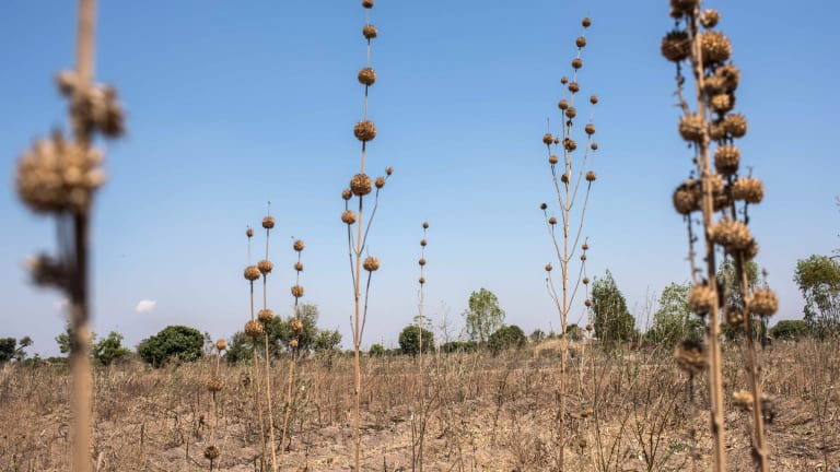 Failed corn crop in Malawi in 2016: drought and heatwaves left some 60 million people in southern Africa dependent on food aid.