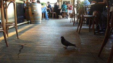 "The Food Standards Code requires food businesses to take ""all practicable measures"" to prevent pigeons from entering premises."