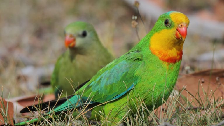The superb parrot, listed as a vulnerable species.