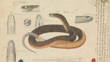 A red-bellied snake, captured by a 19th century natural history illustrator.