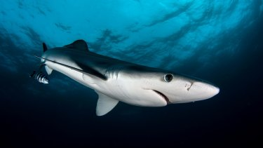Australia has opted out of an international plan to conserve three more shark species, including the blue shark (pictured).