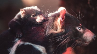 Tasmanian devil joeys build their immune system with peptides contained in mother's milk.