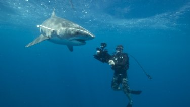One of the researchers filming a tagged tiger shark.