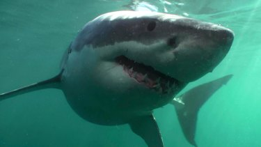 Something fishy: Great whites and other sharks pose a much smaller risk than most people are led to believe.