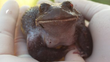 This Giant Burrowing Frog was hit by a car and underwent an operation.