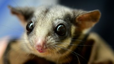 The leadbeater's possum.