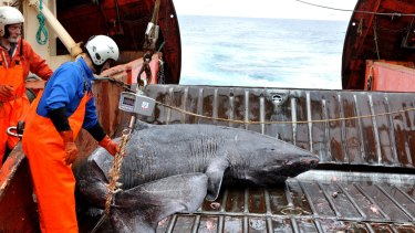 The Greenland shark can grow up to six metres. The 28 sharks studied were accidentally caught by the Greenland Institute of Natural Resources.