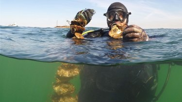 Ben Cleveland with oysters from Hobsons Bay. Hobsons Bay is a part of Victoria's largest reef restoration project.