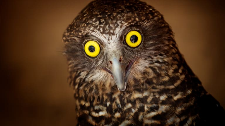 The largest owl in Australia, the powerful owl is found in parks and suburban areas.