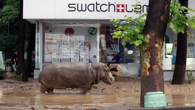 A hippopotamus stands in the mud in front of a Swatch watch kiosk after it escaped from a flooded zoo in Tbilisi, Georgia.