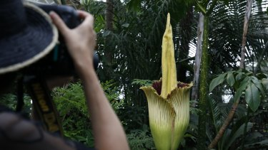 The corpse flower, which smells like rotting flesh.
