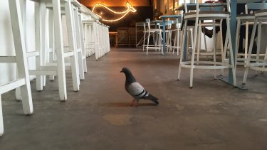 Pigeons are becoming a nuisance in hotels and are considered common pests by the NSW Food Authority, along with rats, mice, cockroaches and ants.