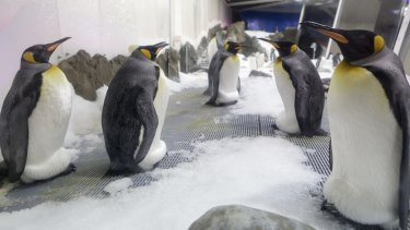 Eggs at the ready ... King Penguins incubate their offspring.