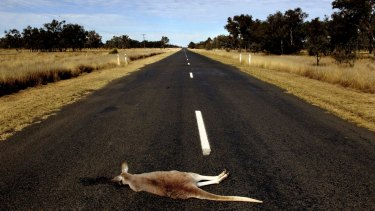 Kangaroo road kill between Walgett and Lightning Ridge.