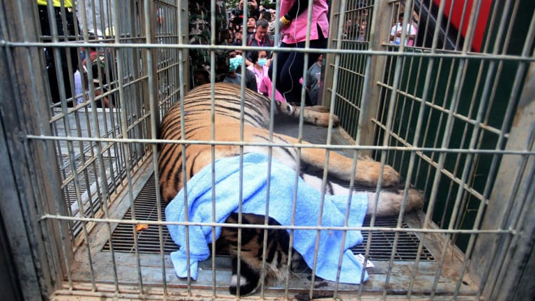 A sedated tiger lies in a cage at the Tiger Temple. Police investigating the temple found what they believe was a slaughter house and tiger holding facility used as part of the temple's suspected trafficking network.