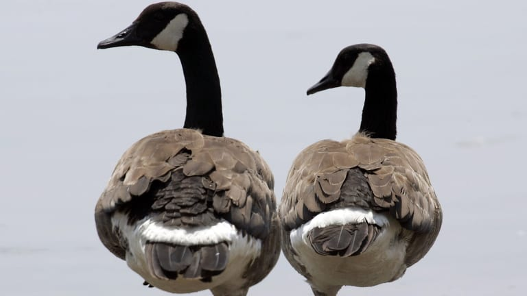 Canada geese can weigh about 5½ kilograms and have a wing span reaching up to two metres.